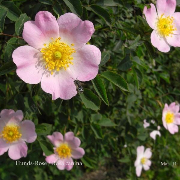 02-hunds-rose-05-11