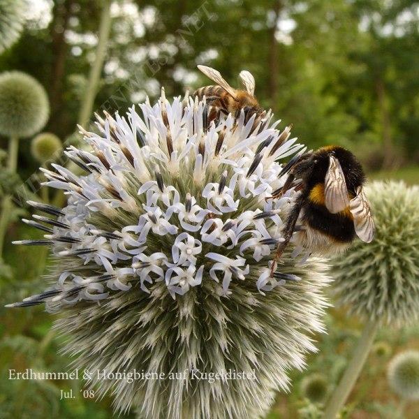 37-erdhummelhonigbiene-auf-kugeldistel-07-08