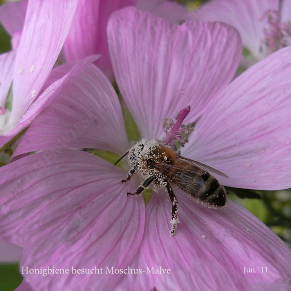 39-honigbiene-besucht-moschusmalve-6-11