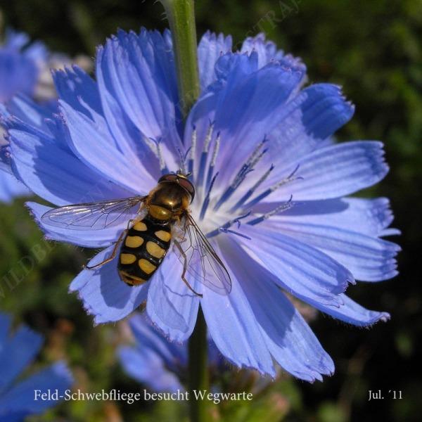 41-feld-schwebfliege-besucht-wegwarte-07-11