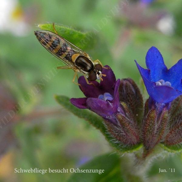 42-schwebfliege-besucht-ochsenzung-06-11