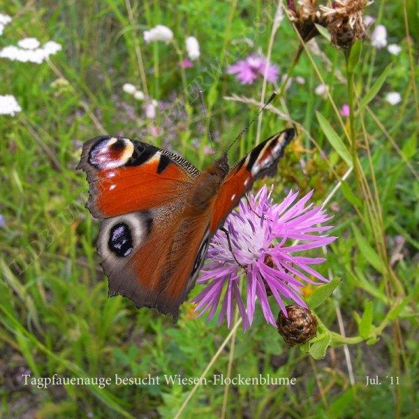 50-tagpfauenauge-besucht-wiesen-flockenblume-07-11