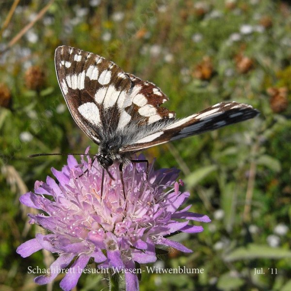 53-schachbrett-besucht-wiesen-witwenblume-07-11